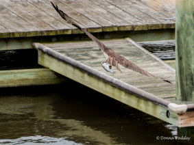 Beau flying past the nest platform where Bonita is perched and watching....and thinking it's for her.