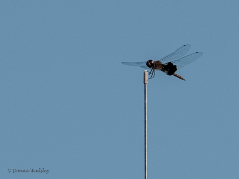 Black Saddlebags Skimmer