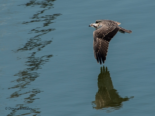 Youngest male 'teen' flying low over the water