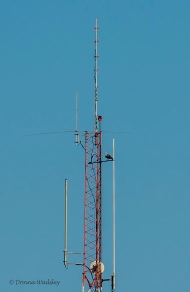 Beau perched on the communications tower