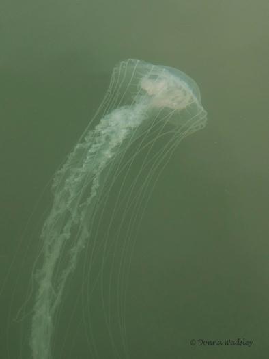 Chesapeake Bay Sea Nettle