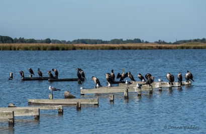 Double-crested Cormorants, few gulls