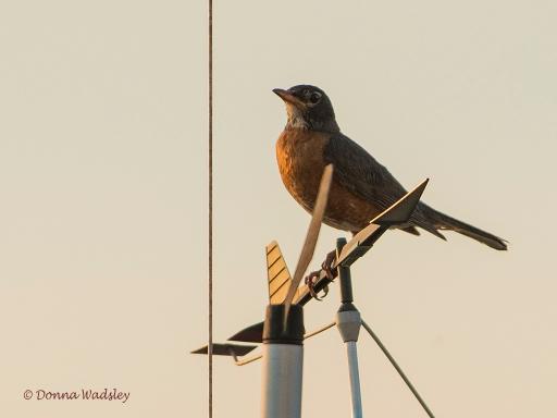 """American Robin at Sunset"""