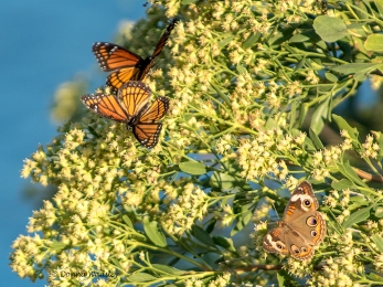 Viceroys and Common Buckeye