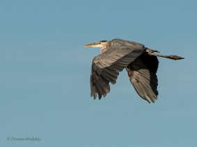 """Great Blue Heron Flight"""