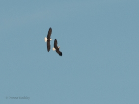 "Bald Eagles ""The Chase"""