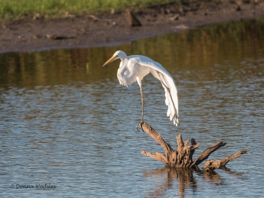 "Great Egret ""Yoga"""