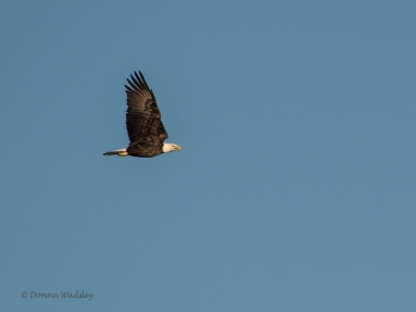 """Bald Eagle Flight"""