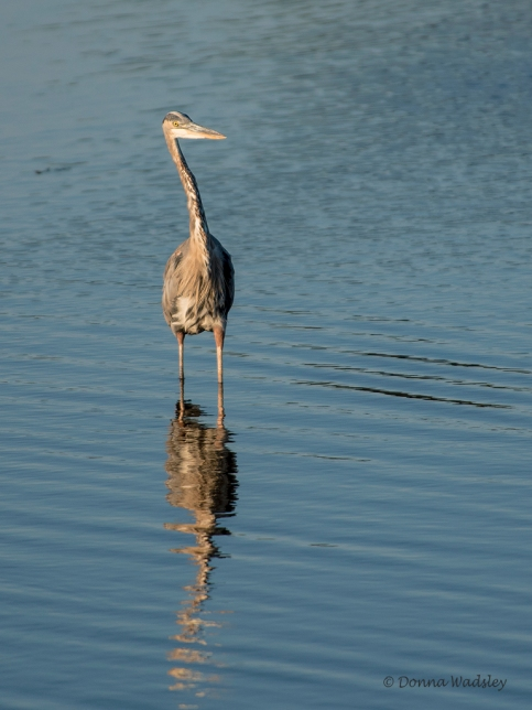 """Great Blue Heron """"Did You Say Something?"""""""