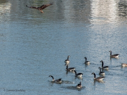 The Canada Geese keep an eye on the teens during each visit, lol
