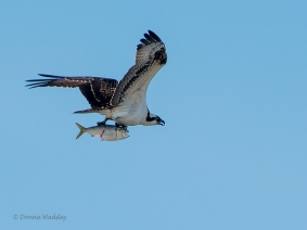 Osprey with a fish that has a 'look of surprise'