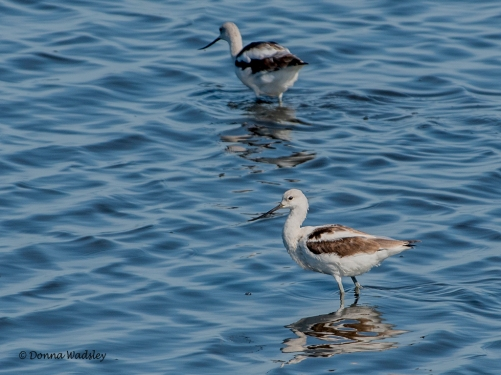 American Avocets