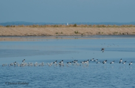 Flock of American Avocets