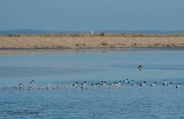 Flock of American Avocets