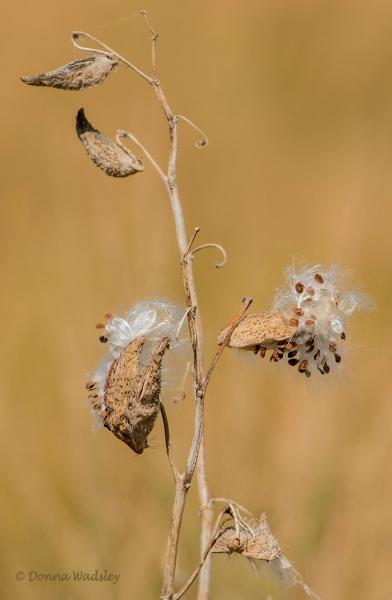 Milkweed seedpods