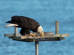 Eagle cleaning its beak alongside the wood.