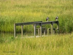 Two Juvenile Osprey