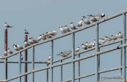 "A CaspianTern ""Meeting"""