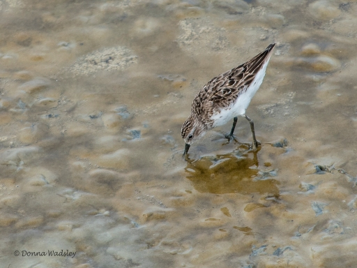 Semipalmated Sandpiper
