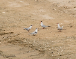"Caspian Terns - ""A Fish Delivery"" sequence"