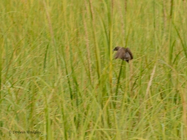 Seaside Sparrow (new lifer!)