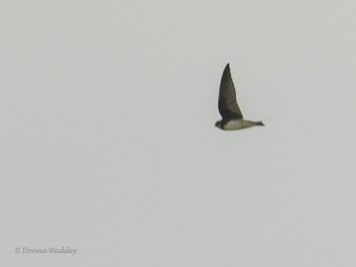 Bank Swallow (new lifer!)