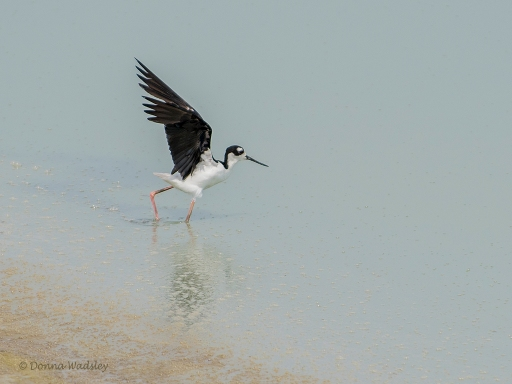 Black-necked Stilt (new lifer!)