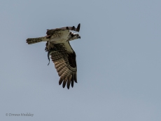 Osprey enroute with a meal