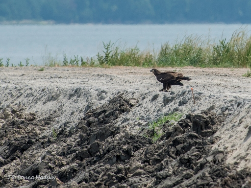 Juvenile Bald Eagle with a meal