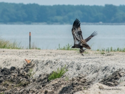 Birders are walking about, the Eagle takes flight.