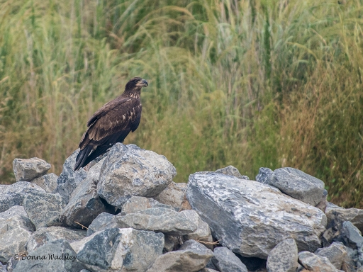 In the bus, we came upon the juvenile Eagle again.