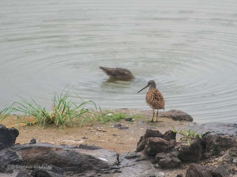 Pair Short-billed Dowitchers