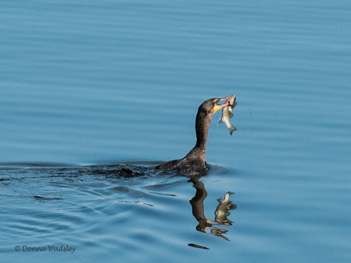 A Cormorant surfaces with a fish.