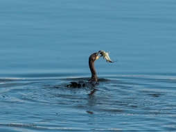 Cormorant contemplating his next move.....