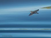 Spotted Sandpiper in flight