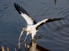 """Wood Stork """"Balancing Act"""""""
