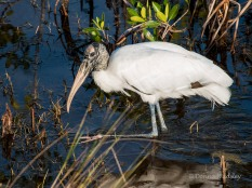 """Wood Stork """"Steppin' Out"""""""