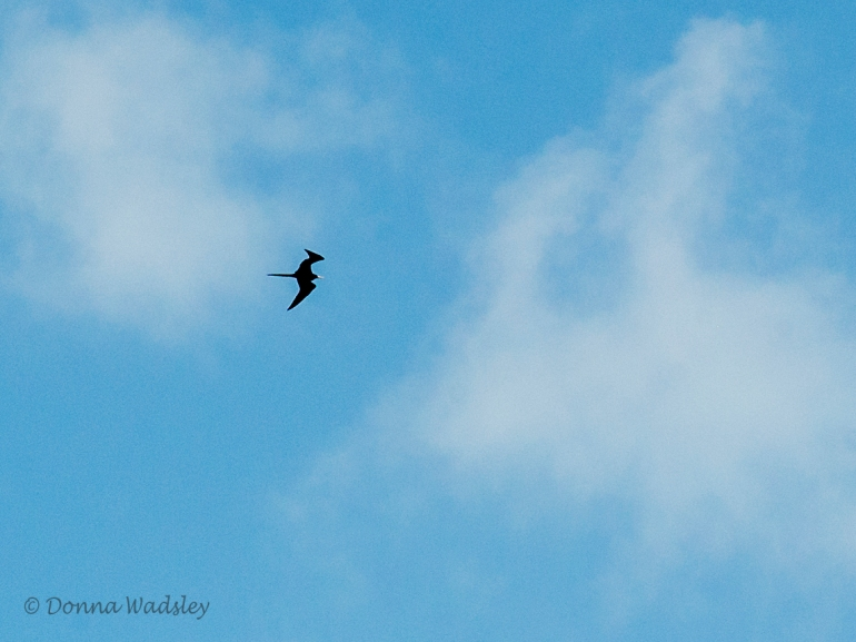 Magnificent Frigatebird (male)