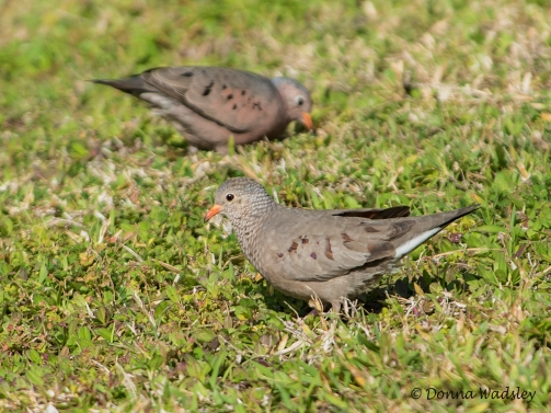 Common Ground Doves (female foreground, male in back))