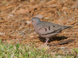 Male Common Ground Dove