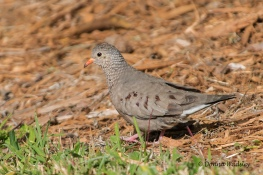 Female Common Ground Dove