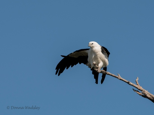 Swallow-tailed Kite stretching