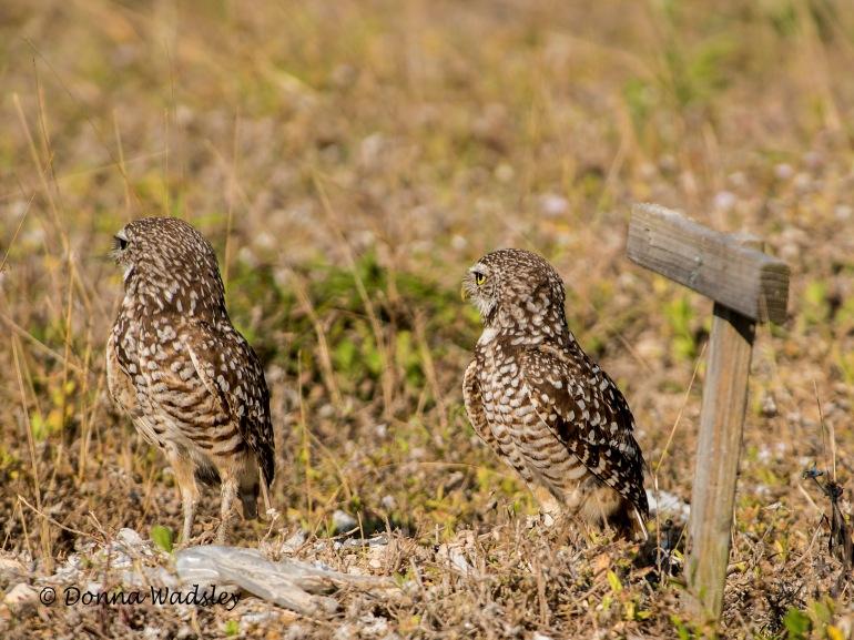"Burrowing Owl ""Love"""