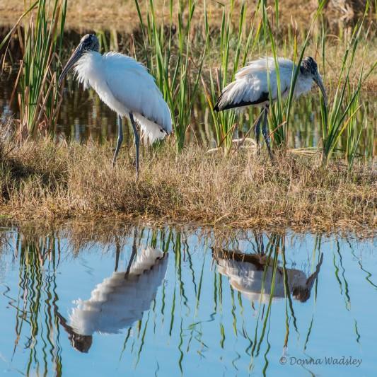"Wood Stork ""Reflections"""