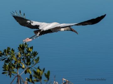 "Wood Stork ""Flight 1"""
