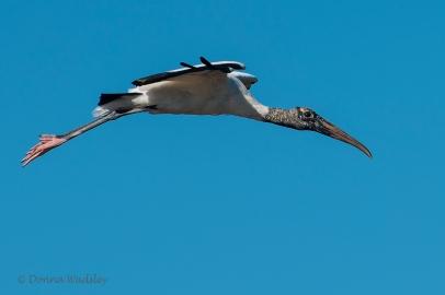"Wood Stork ""Flight 2"""