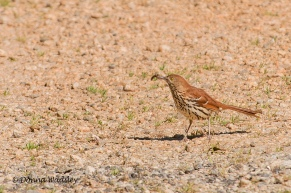Brown Thrasher (with a snack)