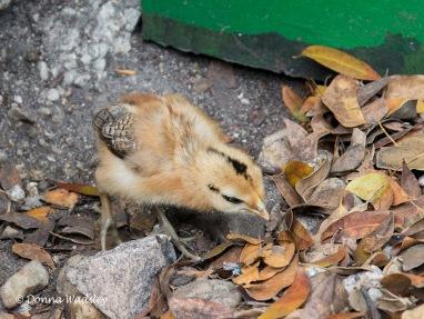 Key West Gypsy chick