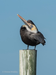 Brown Pelican - head scratching 03