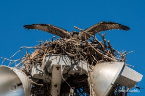 Osprey chick spreading those enormous wings